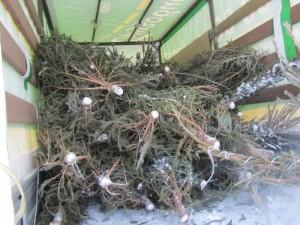 Акции по сбору и утилизации новогодних деревьев