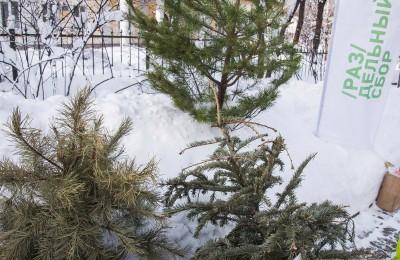 местные жители смогут сдать елки на переработку
