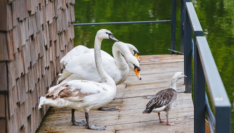 лебеди парк горького